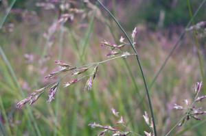 Festuca pratensis - Meadow fescue