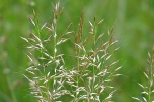 Arrhenatherum elatius - Oat grass (tall meadow oat)