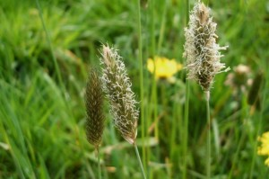 Alopecurus pratensis - Meadow foxtail
