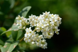 Ligustrum vulgare – European privet
