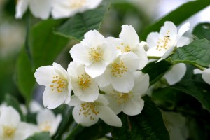 Philadelphus coronarius - Mock orange