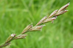Lolium perenne - Rye grass