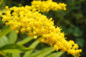 Solidago canadiens - Canadian Goldenrod