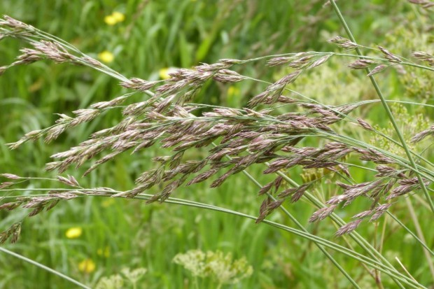 Trisetum flavescens – Trojštět žlutavý