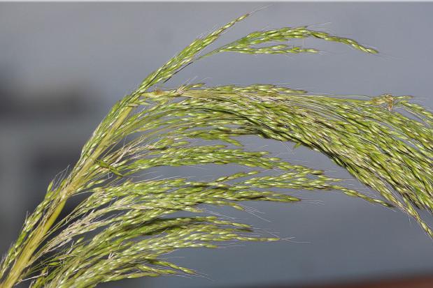 Apera spica-venti – Loose silkybent