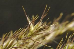 Calamagrostis epigeios - Třtina křovištní