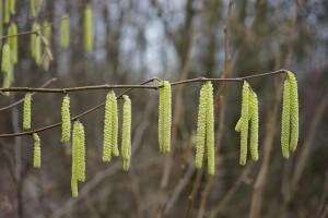 Corylus avellana – Common Hazelnut
