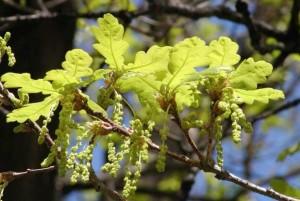 Quercus sp. – Oak