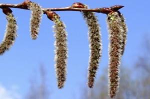 Populus tremula - European aspen